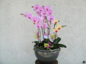 Light Lavender Orchids in a Pot with Ribbons